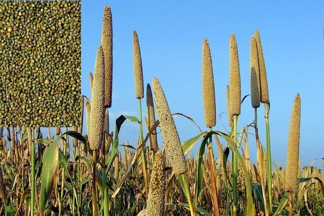 बाजरा और इसके फायदे benefits-of-bajra-_pearl-millet