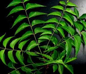 नीम के neem benefits & remedies in hindi thumb