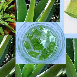 aloe vera juice benefits एलोवेरा के जूस से वजन कम करने के 15 बेहतरीन नुस्खे