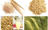 जौ के औषधीय गुण तथा स्वास्थ्य वर्धक लाभ jo barley ke aate pani roti ke fayde