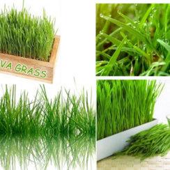 doob grass durva ghas benefits hindi दूब घास के फायदे तथा औषधीय गुण जो कई रोगों को करे दूर