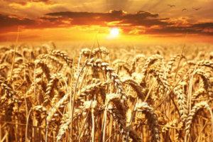 गेहूं के औषधीय गुण तथा घरेलू उपाय Gehu wheat ke fayde labh gun